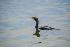 Doppio cormorant crestato immagine stock libera da diritti