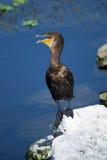 doppio crestato del cormorant Immagine Stock Libera da Diritti