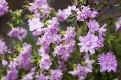 Doppio fiore dell'azalea Immagini Stock Libere da Diritti