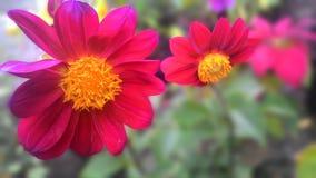 Doppio fiore della dalia Fotografia Stock Libera da Diritti