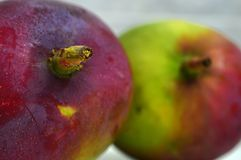 Doppio mango porpora tropicale fresco e naturale fotografie stock