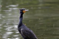 Doppio maschio crestato del Cormorant immagini stock libere da diritti