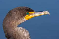 Doppio ritratto crestato del cormorano Immagine Stock Libera da Diritti