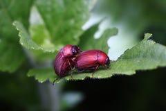 Doppio scarabeo bello Immagine Stock Libera da Diritti