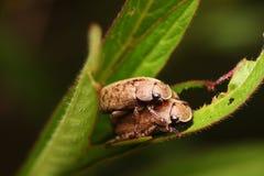 Doppio scarabeo bello Fotografia Stock