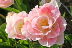 Doppio tulipano di Angelique Fotografie Stock Libere da Diritti