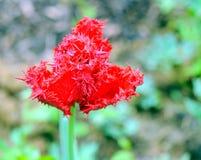 Doppio tulipano selvatico Immagine Stock