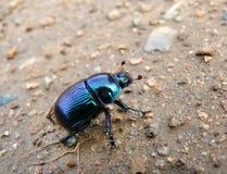 Dor-beetle 5 Royalty Free Stock Photos