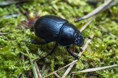 Dor beetle. Dor (dung) beetle. Geotrupes stercorarius. Anoplotrupes stercorosus stock images