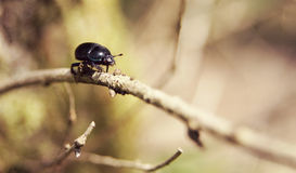 Dor Beetle in the UK Stock Photo