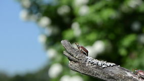 Dor dry branch. Beetles one by one crawls dry tree branch antennas exploring the air and flies stock video