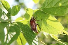 Dor-scarabée Photo libre de droits