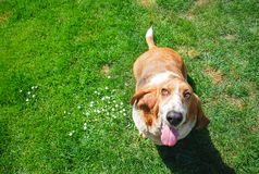 dorable basset hound in smiling face standing in green grass filed background stock photography