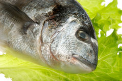 Dorada fish Royalty Free Stock Photos