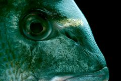 Dorada fish. Macro of a dorada head profile - delicious fish stock photography