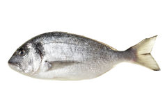 Dorada fish Stock Image