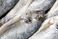 Dorada fish Stock Photography