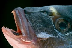 Dorada fish head. Macro of a dorada head - delicious fish stock image