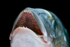 Dorada fish head. Macro of a dorada head - delicious fish royalty free stock photos