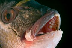 Dorada fish head. Macro of a dorada head - delicious fish royalty free stock photo