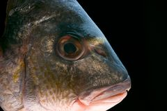 Dorada fish head. Macro of a dorada head - delicious fish royalty free stock image