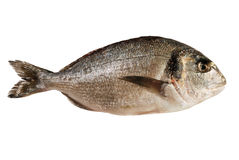 Dorada fish (isolated) Stock Image