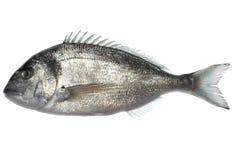dorade ψάρια Στοκ Φωτογραφία