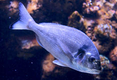 Dorade (gilt-head bream) in aquarium. Dorade (gilt-head bream) in swimming in a big aquarium. One of the tastiest fishes Royalty Free Stock Image