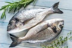 Рыбы Dorade Royale Стоковое фото RF