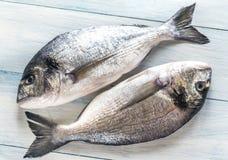 Dorade Royale Fish Royaltyfria Bilder
