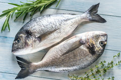 Dorade Royale Fish Royaltyfri Foto