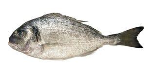 Dorado de los peces marinos Imagen de archivo libre de regalías