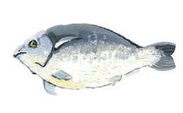 Dorado de los pescados, dibujo del aguazo, aislado en un fondo blanco stock de ilustración