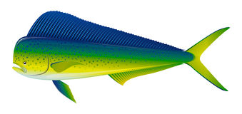 Dorado fish. Vector illustration of Dorado fish, isolated on white Royalty Free Stock Photos