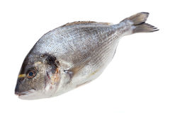 Dorado fish Stock Images