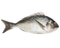 Dorado fish. Fresh sea fish gilt-head bream isolated on white stock photo