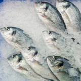 Dorado fish on ice Royalty Free Stock Photos