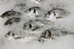 Dorado fish on ice. fresh sparus fish on ice top view royalty free stock photo