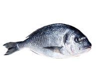 Dorado fish isolated on white Royalty Free Stock Photo