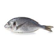 Dorado fish isolated on white. Background Stock Photos