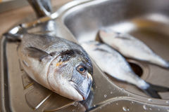 Dorado fish on kitchen sink Royalty Free Stock Photo