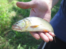 Dorado fish Stock Images