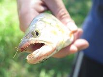 Dorado Fish Royalty Free Stock Photography