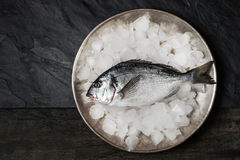 Dorado fish on the metal plate with ice Royalty Free Stock Image