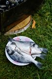 Dorado fish on a plate. Fresh raw Dorado fish on a plate Royalty Free Stock Photography