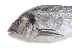 Dorado fish or sea seabream isolated profile view on white Stock Photography