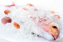 Free Dorado, Ice And Cockleshells Royalty Free Stock Image - 4659556