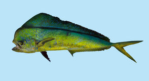 Dorado Mahi mahi  fishing portrait Stock Photos