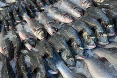 Dorado and sea bass Stock Images