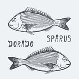 Dorado sparus vector illustration Royalty Free Stock Images